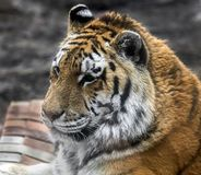 Siberian tiger`s head 1 Royalty Free Stock Images