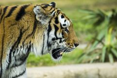 Siberian tiger`s profile. The head profile of a big siberian tiger Royalty Free Stock Image