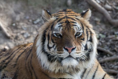 Siberian tiger stock photos