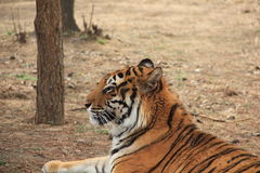 Siberian tiger (scientific name: Panthera tigris altaica). Also known as the Siberian tiger, the Amur tiger, Altai tiger, Ussuri tiger, Manchurian tiger, North royalty free stock photography
