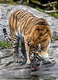 Siberian tiger 12. Siberian tiger eating meat. Latin name - Panthera tigris altaica Stock Photos