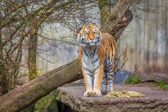 Siberian tiger. Standing on natural area royalty free stock images