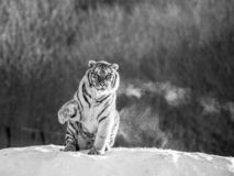 Siberian tiger sits on a snowy hill against the background of a winter forest. Black and white. China. Harbin. stock photo