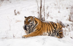 Siberian Tiger Sitting. A siberian tiger sitting on a rock in the winter snow of Harbin, China, licking his paw Stock Photo