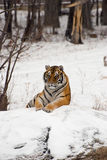 Siberian Tiger Sitting. A siberian tiger sitting on a rock in the winter snow of Harbin, China Stock Photos