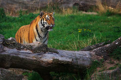 Siberian tiger sitting between two fallen trees Stock Image
