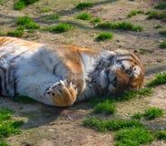Siberian Tiger Sleeping Arkivbild