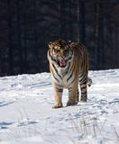 Siberian Tiger Snarling Royalty Free Stock Photos