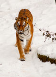 Siberian tiger in the snow. A siberian tiger must feel at home in the snow as it looks straight at the camera Stock Photo