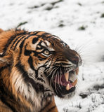 Siberian tiger on snow Royalty Free Stock Photo