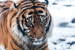 Siberian tiger on snow Stock Photography