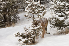 Siberian tiger in snow covered field Royalty Free Stock Images