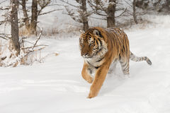 Siberian tiger in snow covered field Stock Images