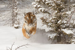 Siberian tiger in snow covered field Royalty Free Stock Photo