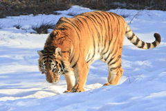 Siberian tiger in snow Royalty Free Stock Image