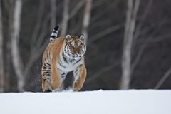 Siberian tiger in snow Royalty Free Stock Photo