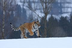 Siberian tiger in snow Stock Photo