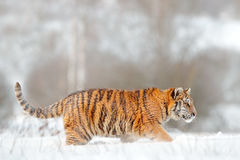 Siberian tiger in snow fall. Amur tiger running in the snow. Tiger in wild winter nature. Action wildlife scene with danger animal Royalty Free Stock Photos