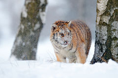 Siberian tiger in snow fall. Amur tiger running in the snow. Tiger in wild winter nature. Action wildlife scene with danger animal Stock Photography