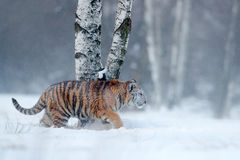 Siberian tiger in snow fall. Amur tiger running in the snow. Tiger in wild winter nature. Action wildlife scene with danger animal Stock Images