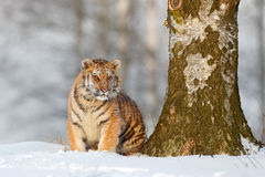 Siberian tiger in snow fall, birch tree. Amur tiger sitting in snow. Tiger in wild winter nature. Action wildlife scene with dange Stock Photos