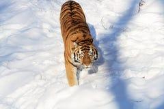 Siberian Tiger On Snow Field. Nice siberian tiger walking across snow field Stock Photo