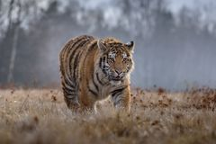 Siberian Tiger in the snow Panthera tigris. Amur tiger walking in river water. Danger animal, tajga, Russia. Animal in green forest stream. Grey stone, river stock photos