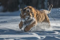 Siberian Tiger in the snow Panthera tigris. Amur tiger walking in river water. Danger animal, tajga, Russia. Animal in green forest stream. Grey stone, river stock photo