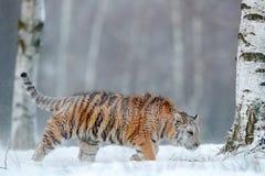 Siberian tiger in snow. Stock Photo