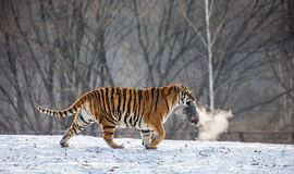 Siberian tiger on a snowy glade with prey. China. Harbin. Black and white. Mudanjiang province. Hengdaohezi park. Siberian Tiger Park. Winter. Hard frost royalty free stock images