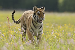 Siberian Tiger. In spring meadow Royalty Free Stock Photo