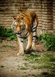 Siberian Tiger Stalking. A large Siberian Tiger walking towards the camera, on exhibit at the Buffalo Zoo Stock Photos
