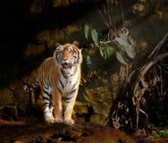 Siberian tiger Royalty Free Stock Photos