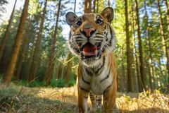 Siberian tiger standing in front of photo with open mouth. Dangerous wild animal. stock photography