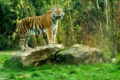 Siberian tiger standing on a rock Stock Photography