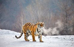 Siberian tiger is standing on a snowy glade. China. Harbin. Mudanjiang province. Hengdaohezi park. royalty free stock photography