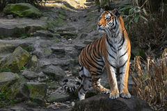 Siberian tiger stands alerted on the stone rock. One Siberian tiger Amur tiger, Panthera tigris altaica stands alerted on the stone rock and looks aside from Royalty Free Stock Photo