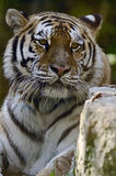 Siberian Tiger Stare. Photo of a Siberian Tiger (Panthera tigris altaica), in captivity royalty free stock photography