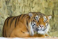 Siberian Tiger. On the stones Stock Photo