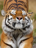 Siberian tiger stretching Royalty Free Stock Photography
