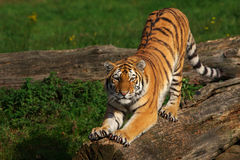 Siberian tiger stretching out Royalty Free Stock Photos