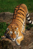 Siberian tiger stretching out Royalty Free Stock Images