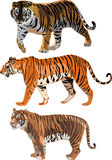 Siberian Tiger,Sumatran Tiger, Bengal tiger. The three tigers in the world ,Tiger is the largest cat, the fierce temperament Stock Image