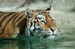 Siberian tiger swimming Stock Photos