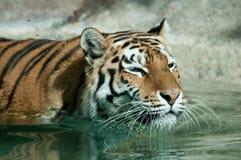 Siberian tiger swimming Stock Photos