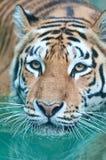 Siberian tiger swimming Royalty Free Stock Photos