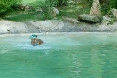 Siberian tiger swimming royalty free stock photography