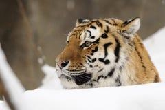 siberian tiger tigris för altaicapanthera Arkivbilder