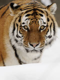 siberian tiger tigris för altaicapanthera Royaltyfria Foton