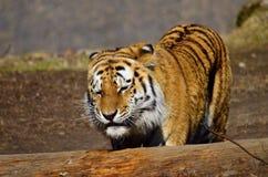 Siberian tiger. To jump over a log stock photos